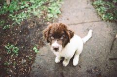 纽芬兰小狗 免版税库存照片