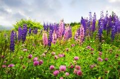 纽芬兰桃红色紫色野花 免版税库存图片