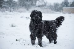 纽芬兰狗圣诞老人圣诞节逗人喜爱的xmas华伦泰爱 库存图片