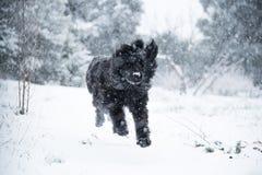 纽芬兰狗圣诞老人圣诞节逗人喜爱的xmas华伦泰爱 免版税库存照片