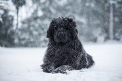 纽芬兰狗圣诞老人圣诞节逗人喜爱的xmas华伦泰爱 库存照片