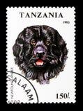 纽芬兰狗天狼犬座familiaris,狗serie,大约1993年 图库摄影