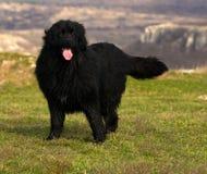 纽芬兰狗 免版税库存图片