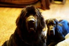 纽芬兰狗 库存图片