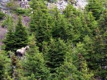 纽芬兰麋在森林里2016年 免版税库存图片