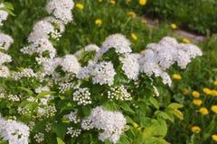 绣线菊类的植物在庭院里 库存图片