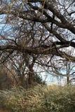 绣线菊类的植物灌木 免版税库存照片