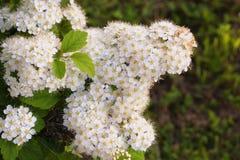 绣线菊类的植物种类Spirea灰色特写镜头在庭院里 免版税库存照片