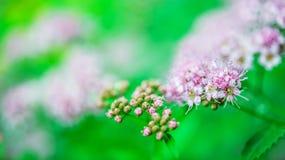 绣线菊类的植物 免版税库存照片