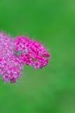 绣线菊类的植物 库存照片