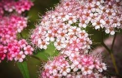 绣线菊类的植物 免版税图库摄影