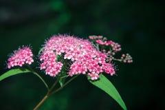 绣线菊类的植物 库存图片