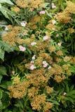 绣线菊类的植物japonica、日本meadowsweet或者日本绣线菊类的植物, 库存照片