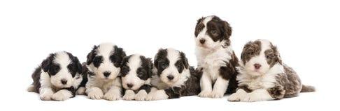 组有胡子的大牧羊犬小狗, 6个星期年纪 免版税库存图片