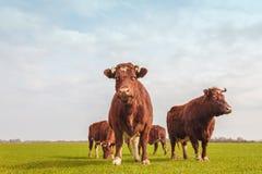 组棕色荷兰语母牛在夏天 图库摄影