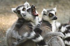 组狐猴尾部有环纹打呵欠 免版税库存照片