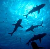 组礁石鲨鱼剪影 免版税库存图片