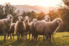 组绵羊 库存照片