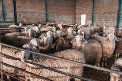 组绵羊 免版税库存图片