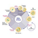细胞周期细胞分裂 库存照片