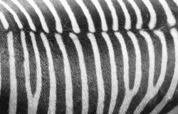细节在斑马皮肤的黑白条纹 库存照片