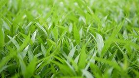 细节离开绿色领域 新鲜的绿草小叶子的领域  影视素材