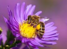 细节蜂或蜜蜂在拉丁Apis Mellifera,欧洲或者西部蜂蜜蜂坐黄色紫罗兰色或蓝色花 库存照片