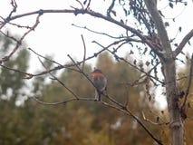 细节锐利的美好的英国知更鸟关闭分支秋天w 库存图片