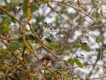 细节锐利的美好的英国知更鸟关闭分支秋天w 免版税库存照片
