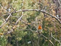 细节锐利的美好的英国知更鸟关闭分支秋天w 免版税图库摄影
