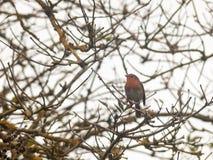 细节锐利的美好的英国知更鸟关闭分支秋天w 免版税库存图片