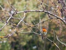 细节锐利的美好的英国知更鸟关闭分支秋天w 库存照片