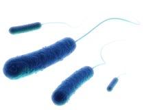 细菌杆菌e 皇族释放例证