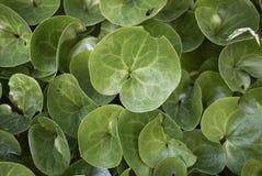 细辛europaeum新鲜的绿色叶子  库存图片