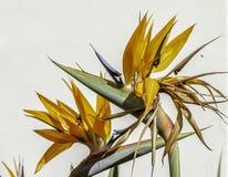 织地不很细五颜六色的罕见的天堂鸟在西西里岛关闭的花  库存照片