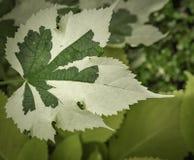 织地不很细绿色和白色叶子关闭 免版税库存图片