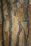织地不很细老松树吠声关闭本地植物在西西里岛 免版税库存图片