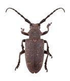 织工甲虫 库存照片
