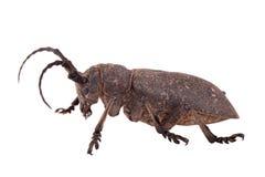 织工甲虫 免版税库存图片