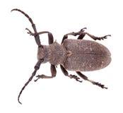 织工甲虫 免版税库存照片