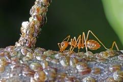 织工蚂蚁和介壳虫 免版税库存照片