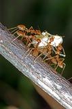 织工蚂蚁 库存照片