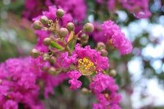 绉绸桃金娘开花和胶囊,绉绸桃金娘,紫薇 热带和亚热带桃红色开花的灌木,得克萨斯,美国 库存图片