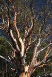 绉绸桃金娘结构树 库存图片