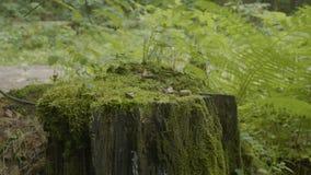 绊倒在用青苔盖的森林老树桩 绊倒绿色青苔枞松针叶树森林公园木头 免版税库存图片