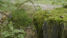 绊倒在用青苔盖的森林老树桩 绊倒绿色青苔枞松针叶树森林公园木头 库存照片
