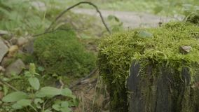 绊倒在用青苔盖的森林老树桩 绊倒绿色青苔枞松针叶树森林公园木头 免版税库存照片