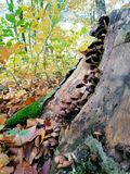 绊倒长得太大与与老腐烂的夏天蜂蜜伞菌的青苔 库存照片