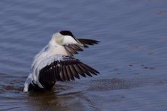 绒鸭其舒展的翼 库存图片