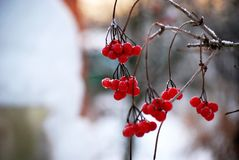 结冰在冬天,在布什的荚莲属的植物莓果群 免版税库存图片